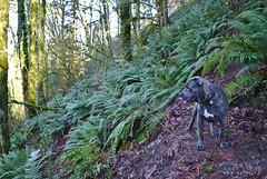 Zeus (Arek Eych) Tags: pitbull dog wildlife langleybc vancouver surreybc canine fern ferns canada britishcolumbia