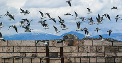 1/400 sec of the day (jimiliop) Tags: seagulls flock birds nature wall mountains motion many flying wings