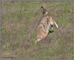 And Miss 4468 (maguire33@verizon.net) Tags: pointreyesnationalseashore coyote wildlife