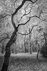 18-11__T2F3890 (Jacek P.) Tags: poland kraków planty jesień fall trees drzewa blackwhite bw monochrome