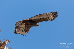 Harlan's Red Tailed Hawk takes flight
