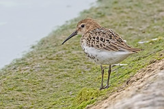 Dunlin (drbut) Tags: dunlin calidrisalpina wader water watersedge avian bird birds wildlife nature canonef500f4lisusm