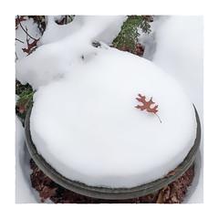 First Snow (Timothy Valentine) Tags: 2018 clichésaturday home leaf birdbath 1118 oak snow eastbridgewater massachusetts unitedstates us