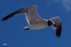 180822_41_ACAS_FletcherLynn (AgentADQ) Tags: atlantic city air show new jersey seagull gull bird