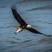 Conowingo Dam Bald Eagle Series - 5 (gwh.photography) Tags: conowingodam autumn baldeagle