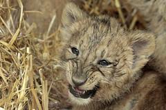 3 months old Asiatic Lions (1) (K.Verhulst) Tags: asiaticlions asiaticlion lions leeuwen aziatischeleeuwen aziatischeleeuw cats blijdorp blijdorpzoo diergaardeblijdorp rotterdam perzischeleeuw coth5 ngc npc