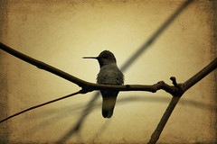the stillness of the air (1crzqbn) Tags: hummingbird sliderssunday textures nature bokeh baby outside sunlight bird