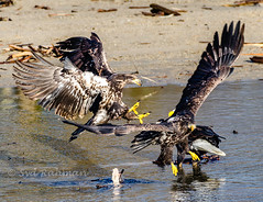 Eagles fighting for food at Harrison Mills, BC, Canada (Syd Rahman) Tags: 604now igscan mustbevancouver vancouvercanada beautifulbc britishcolumbia cityofvancouver dailyhivevan discovervancouver explorebc explorecanada explorevancouver georgiastraight igcanada igersvancouver igvancouver ilovebc meetup narcityvancouver photos604 staypnw thankyoucanada tourcanada vancity vancitybuzz vancityfeature vancityhype vancitylove vancouver vancouverbound vancouvering vancouverisawesome vancouverlife vancouverofficial veryvancouver bc baldeagle beautiful beautifulbritishcolumbia beautifulcanada birds camera d7000 dslr deroche eagle followme iso meetupgroup nikon nikoncanada nikond7000 nikondslr northamerica northof49 pacificnorthwest phtographygroup rahman roadtrip syd sydrahman sydur sydurrahman today wildlife