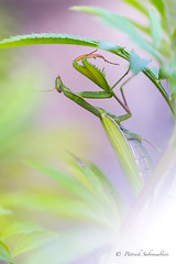 Mante religieuse-Mantis religiosa (PatNik01) Tags: mantereligieuse mantisreligiosa insect femelle jardin bugey france nikon vert
