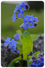 Professional Flower Model (nickyt739) Tags: flower leaf leaves colours blue purple green delicate nikon bright d5100 dslr uk britain england great