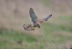 Kestrel Burwell Fen-5880 (seandarcy2) Tags: birds wildlife bif raptors falcon prey kestrel hunting fenland cambs uk burwell fen