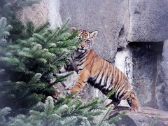Choosing the best Christmas Tree (pianocats16) Tags: tiger baby cute tierpark berlin zoo