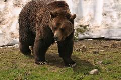 Grizzly Bear (crafty1tutu (Ann)) Tags: travel holiday 2018 canadaandalaska canada grousemountain vancouver animal bear grizzlybear captive orphan crafty1tutu canon5dmkiii ef100400mmf4556lisiiusm anncameron naturethroughthelens