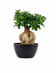 Exclusive 6 Year Old Bonsai Tree For All (mywowstuff) Tags: gifts gadgets cool family friends funny shopping men women kids home