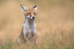 Red Fox (Vulpes vulpes) (benstaceyphotography) Tags: afs500mmf4gedvr d800e keeptheban redfox renardroux nikonuk benstacey wildlife mammal uk fox