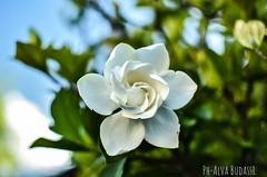 Jazmín del cabo. (alva.budassi) Tags: jazmin nikkor35mm jardín flores naturaleza