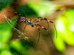 Nephila clavata (Neoflame) Tags: spider nephila nephilaclavata colors web bokeh boke colours japanesespider цвета паук бокэ עכביש צבעים בוקה