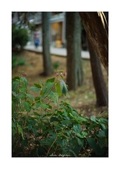 2018/11/24 - 6/18 photo by shin ikegami. - SONY ILCE‑7M2 / Lomography New Jupiter 3+ 1.5/50 L39/M (shin ikegami) Tags: 紫陽花 flower 花 井の頭公園 吉祥寺 autumn 秋 sony ilce7m2 sonyilce7m2 a7ii 50mm lomography lomoartlens newjupiter3 tokyo sonycamera photo photographer 単焦点 iso800 ndfilter light shadow 自然 nature 玉ボケ bokeh depthoffield naturephotography art photography japan earth asia