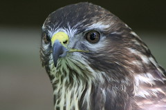 IMG_1493 (Stefan Kusinski) Tags: hemsley duncombe ncbp birdofprey