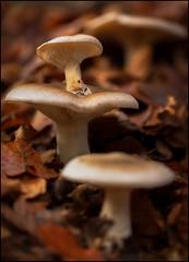 THE FAMILY  (CLITOCYBE NEBULARIS ) (TOYOGRACOR) Tags: mushrooms setas mygearandme naturaleza hongos fungi fungus mywinners aplusphoto macro flickrdiamond bej canon explore flickr dof mygearandmepremium mygearandmebronze mygearandmesilver theoriginalgoldseal soe flickrs bosque godlovesyou fav50 fav100 seta otoño autumn macrofotografía clitocybe clitocybenebularis