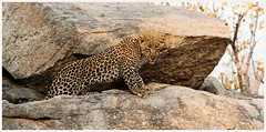 Leopard on the Rocks_MG_1457 (1400x692) (David B Olsen) Tags: leopard cats bigcats krugernationalpark wildlife animal rocks granite southafrrica wilderness