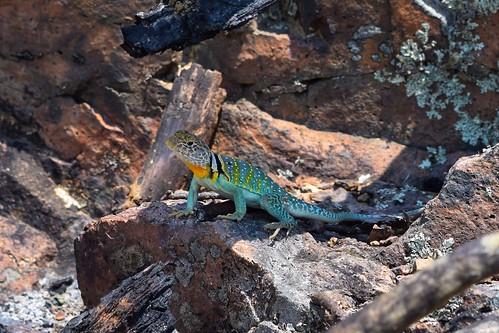 Eastern collard lizard (Crotaphytus collaris)