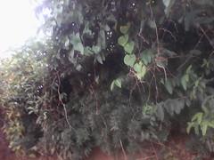 some plant (semowilson) Tags: nature environnement africa cameroun afrique arbre biodiversite biologie biodiversity biology