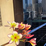 Frangipani or Plumeria blossoms in the big city (Bangkok) thumbnail