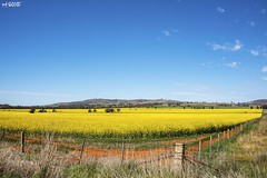 Yellow, Red, Blue And Green (red stilletto) Tags: northeastvictoria dookie spring canola farm farms