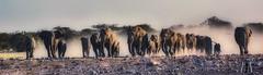 Charge!  Elephants rush to claim their Etosha waterhole (SuzieAndJim) Tags: naturephotography nature stampede charge rush waterhole africa namibia etoshnationalpark suzieandjim etosha elephants