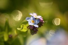Forget-Me-Not      Kern Paillard Yvar 75mm F 2.8 (情事針寸II) Tags: flowerscolors マクロ撮影 自然 花 勿忘草 cmountlens blue macro nature fleur flower myosotis forgetmenot kernpaillardyvar75mmf28