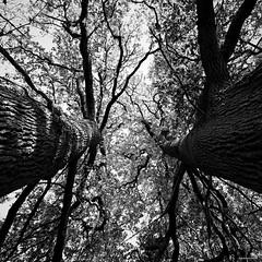 Face-à-face (Un jour en France) Tags: monochrome forêt arbre noiretblanc noiretblancfrance carré canoneos6dmarkii canonef1635mmf28liiusm