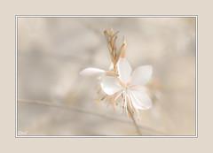 Comme dans un rêve !! (thierrymazel) Tags: macro gaura fleurs flowers cadre bordure bokeh pdc dof profondeurdechamp