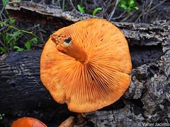 Spectacular Rustgill (Gymnopilus junonius) (Valter Jacinto   Portugal) Tags: europe portugal algarve loulé almancil fungi basidiomycota agaricomycetes agaricales strophariaceae gymnopilus gymnopilusjunonius cogumelos mushrooms spectacularrustgill fungus fungo nature naturephotography biodiversity taxonomy:binomial=gymnopilusjunonius taxonomy:genus=gymnopilus taxonomy:family=strophariaceae taxonomy:order=agaricales taxonomy:class=agaricomycetes taxonomy:phylum=basidiomycota taxonomy:kingdom=fungi geo:region=europe geo:country=portugal nikoncoolpixp900 p900 prnpppriaformosa