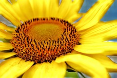 20180724223531_IMG_4078-01 (photosby_di) Tags: nature sunflower boglefarm summer adventures closeup seeds yellow sunshine