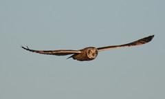 Overhead bypass (Snixy_85) Tags: owl shortearedowl asioflammeus