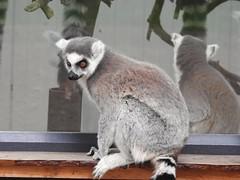 Ring Tailed Lemur (Simply Sharon !) Tags: ringtailedlemur primate animal yorkshirewildlifepark reflections