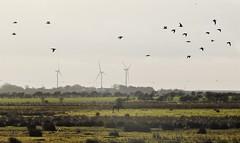 Curlews Over Druridge Wetlands (Gilli8888) Tags: nikon p900 coolpix northeast northumberland nature birds druridge druridgeponds wetlands curlews birdsinflight turbines windturbines three landscape