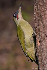 Picchio verde _002 (Rolando CRINITI) Tags: picchioverde uccelli uccello birds ornitologia avifauna castellettomerli natura