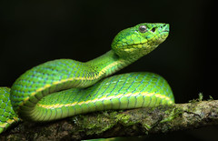 Side-striped Palm Pit Viper (ashockenberry) Tags: snake majestic mountains nature naturephotography natural national native beautiful beauty green travel tourism tree reserve eco wildlife wildlifephotography wild wilderness habitat ashleyhockenberryphotography reptile rainforest tropical costa rica venomous pitviper
