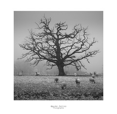 The cult (MaxSerres) Tags: paysages nb neige sombre arbre mouton aude photo2019