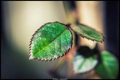 bébés feuilles de rosier (Fotomaniak 53) Tags: feuilles mini bébés nature proxy canon 550d eos raw vert hiver 2019 janvier