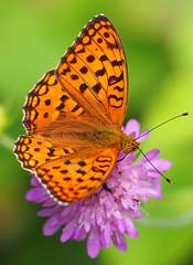 Kwiaty Flower Blumen (arjuna_zbycho) Tags: kwiaty blumem flowers sommer lato motyle schmetterlinge swallowtail schmetterling motyl lepidoptera insekten insecta