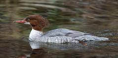 ND5_7517 Female Common Merganser (Wayne Duke 76) Tags: merganser waterfowl feathers redhead
