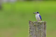 Forest Kingfisher (Todiramphus macleayii) (Arturo Nahum) Tags: australia chile aves animal arturonahum ave airelibre birdwatcher bird birds wildflife wild nature naturaleza naturephotography pajaro pajaros forestkingfisher todiramphusmacleayii