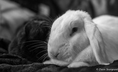 Marble and Nova (daveseargeant) Tags: rabbit monochrome black white nikon df medway rochester 50mm 18g portrait snuggled bonded