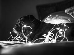 Model life... (RissBaker) Tags: animal hobby happy uk england surrey london nightphotography beyondbokeh lights bestfriend love photography femalephotographer lumixg80 lumix panasonic white black blackandwhite bokeh pet portrait petportrait puglove dog pug