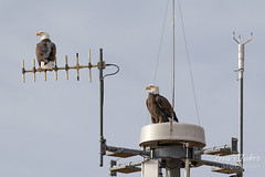 December 15, 2018 - Bald Eagles hanging out on a weather station. (Tony's Takes)