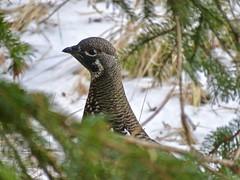 Spruce Grouse, Johnson Lake, Banff 2 (benlarhome) Tags: banff johnsonlake alberta canada grouse