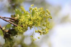 Acer platanoides flowers (Erable plane) (Sophie Giriens) Tags: acer platanoides flowers erable plane